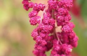 Rosa quinoa-plante